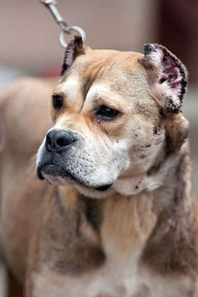 Alano Español Dog Breed
