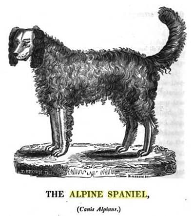 Alpine Spaniel Dog Breed