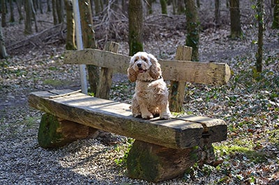 American Cocker Spaniel Dog Breed